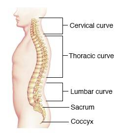 spine showing spinal curves